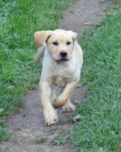 labrador retriever en adopcion